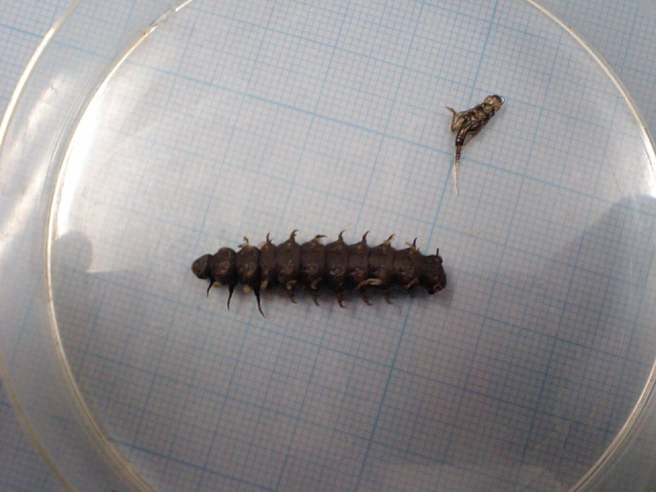 ホタル幼虫.JPG